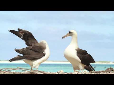 Dancing Laysan Albatrosses