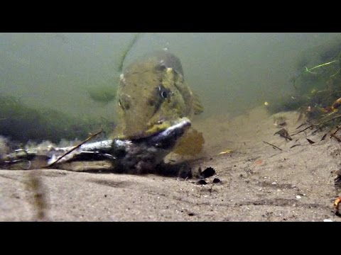 Pike Reacting To Dead And Live Baits!