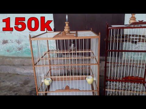 Mua Lồng Chim Cực Đẹp Giá Chỉ 150k Về Nhốt Chào Mào Bổi Tố Chất