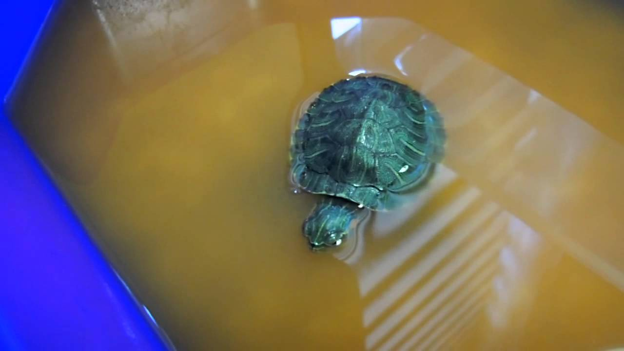 Treatment of Respiratory infection baby turtle (Part 2)
