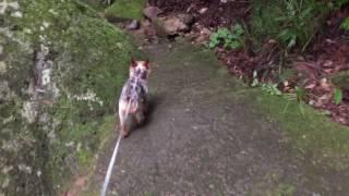 渓谷を散歩しているヨーキーです。