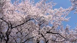 桜を撮っていたら予期せぬものが・・・