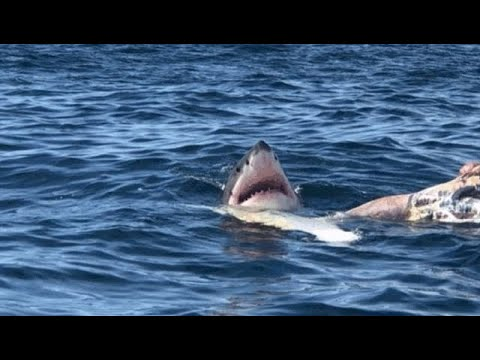 Beach Near Boston Closed After Great Whites Seen Feeding on Whale