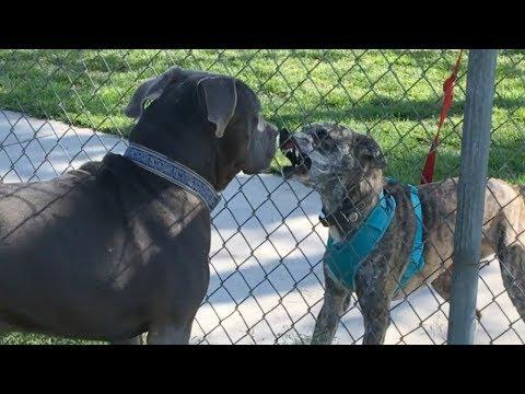 A Bandog's Adorable Reaction to a Mean Dog