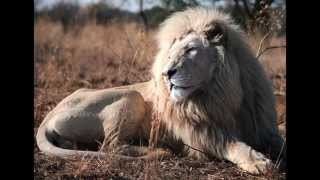 Volunteering with lions in South Africa 2015