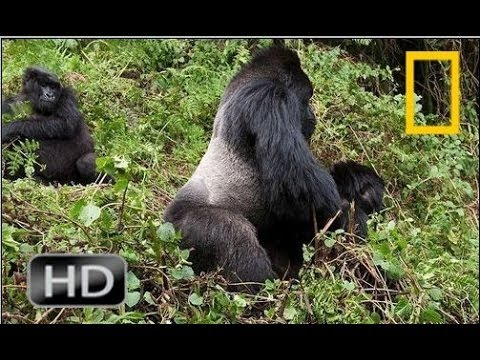 Gorilla vs  Gorilla -  Animals Attack | National Geographic HD