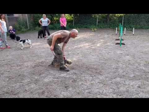 Border terrier Leeloo having fun at agility.