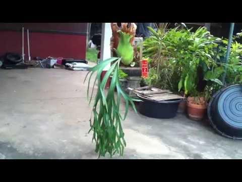 Platycerium Willinckii - Staghorn fern - Elkhorn - 鹿角蕨