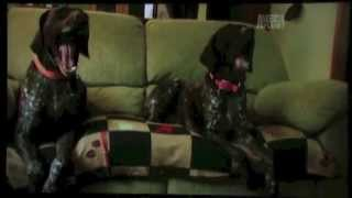 Gsp's - A Short Doco On The Abilities, Characteristics And Quirks Of German Shorthaired Pointers