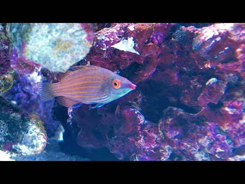 Cryptic Wrasse (Pink Streaked Wrasse)