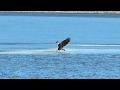 Eagle Grabs Fish From Ice
