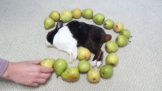 Waking a Sleeping Rabbit by Surrounding him with Pears