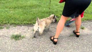Skateboarding Dog Cairn Terrier On June 11 2010_dog Show Sumac.avi