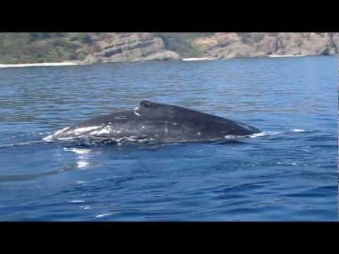 Swimming With Humpback Whales Ogasawara - Japan