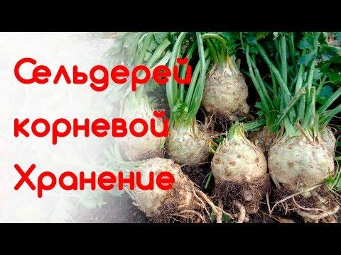 Сельдерей - полезные свойства и калорийность, применение и