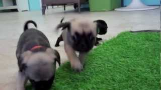 Pugs Puppies For Sale In San Diego!