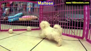 Maltese, Puppies, For, Sale, In, Portland, Oregon, Or, Mcminnville, Oregon City, Grants Pass, Keizer