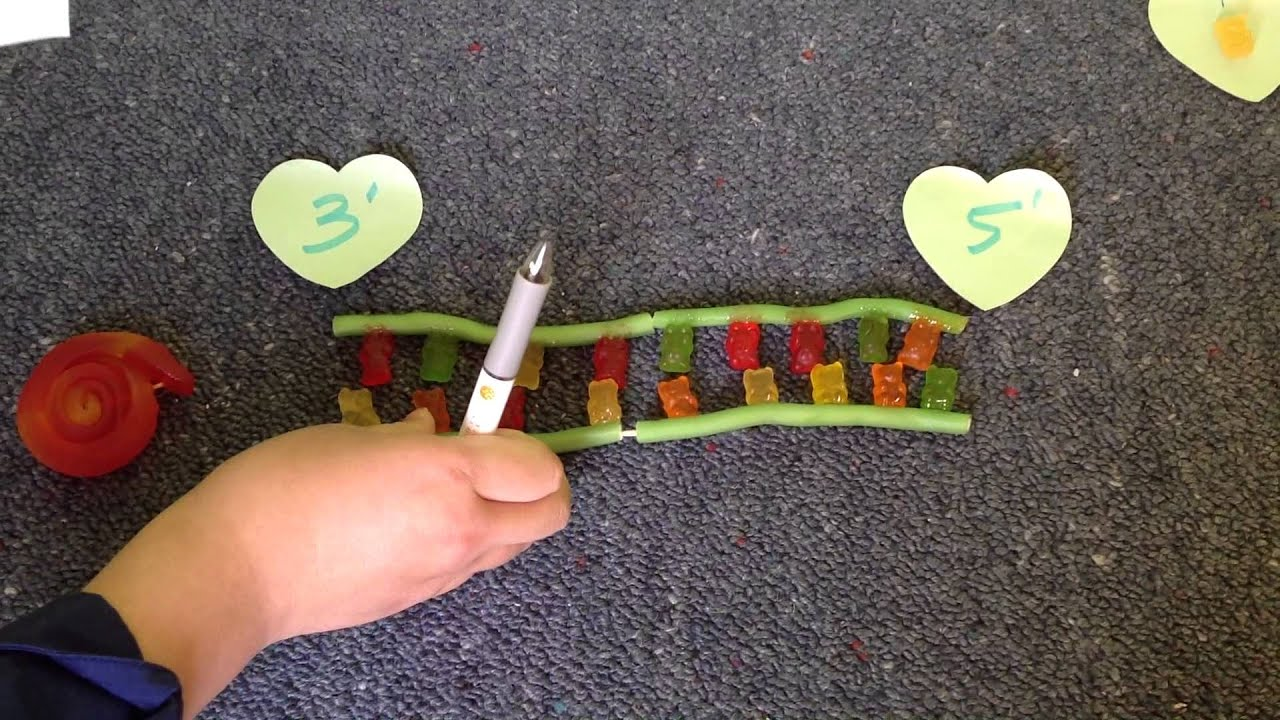 Simple diy candy dna replication youtube simple diy candy dna replication solutioingenieria Image collections