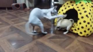 Гонки2. Сфинкс и чихуахуа.sphinx and  Chihuahua.