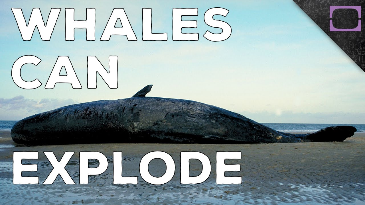 Why Do Beached Whales Explode Youtube