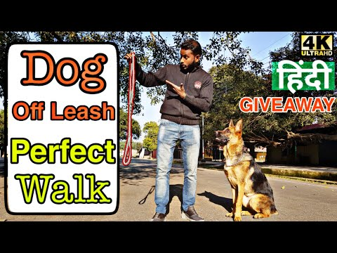 dog-training---how-to-off-leash-walk-in-simplest-way-|-walk-without-leash/chain-|-4k-hindi