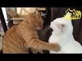 茶トラ猫「ひろし」甘えてくる弟も宥めるペシッ!人気者やね〜