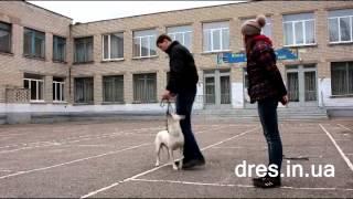 Как отучить собаку тянуть поводок? Что делать если пес тянет поводок?