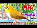 Pleci Gacor Full Isian Nembak Sejalur Cocok Buat Masteran Nalela Kicau  Mp3 - Mp4 Download