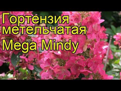 Гортензия метельчатая Мега Минди. Краткий обзор, описание характеристик