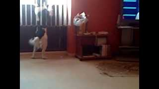 Working Springer Spaniel Barking At A Pigeon