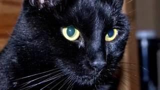 Порода кошек. Бомбейская кошка.Пантера в миниатюре ,с блестящей и шелковистой черной шерстью