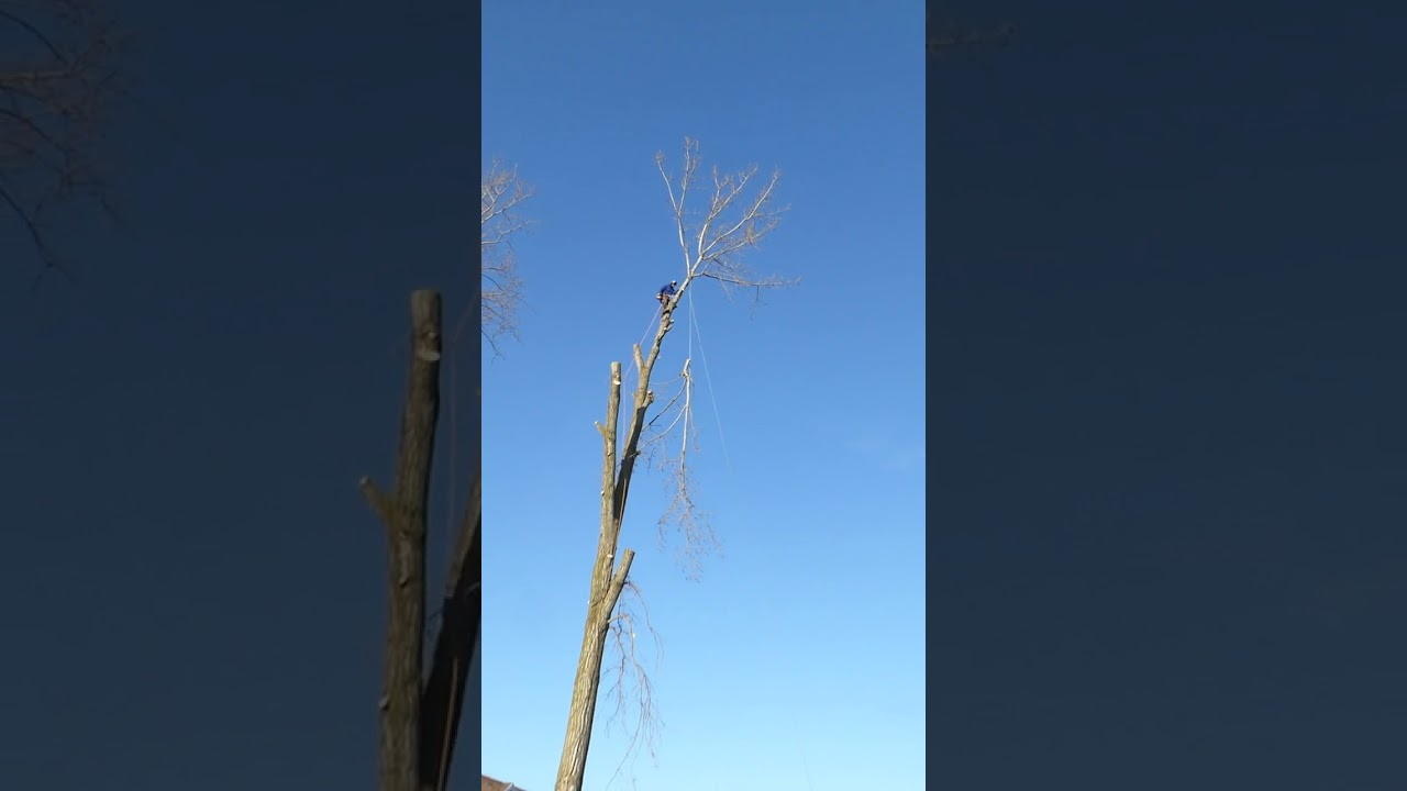 Large Technical Tree Takedown from Kustom Tree Care Inc