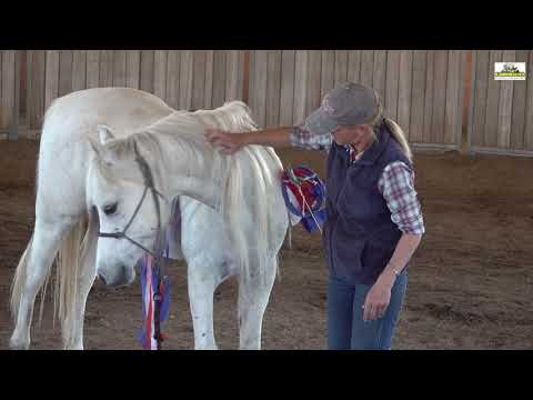 Leadership Training - Arabian Gelding 12 years old