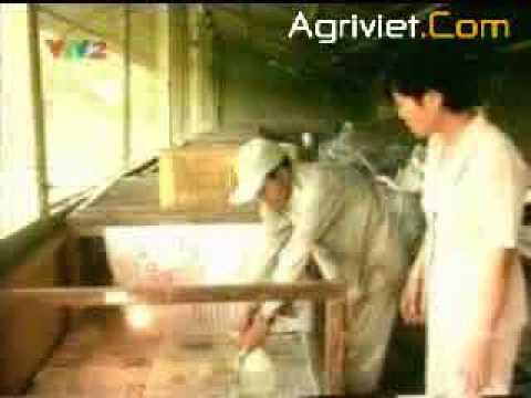 KT nuối gà thả vườn (III)