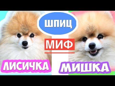 Шпиц Мишка и Лисичка | ЕСТЬ ЛИ РАЗНИЦА