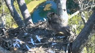 Savannah Great-horned Owls-dad Delivers Brunch 3-31-15
