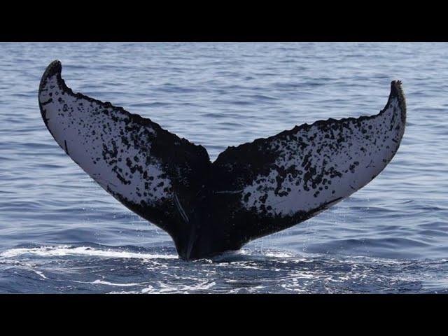 Les baleines à bosse à La Réunion