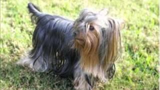 Cositas Que No Sabias De Tu Perro Yorkshire Terrier