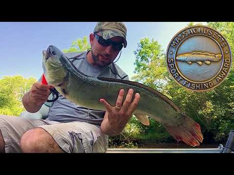 Bowfin Fishing In Massachusetts (and Hickory Shad & Bass) Taunton River