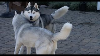 Siberian Husky Meets Her New Brother!