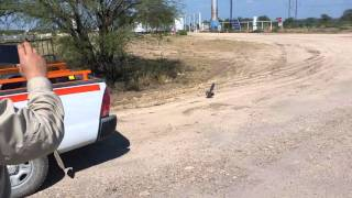 Roadrunner vs Rattlesnake