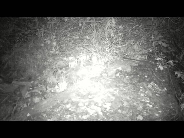 Wildlife Thailand – Rare footage of a Spotted Linsang