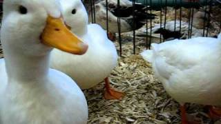 Little ducks quacking