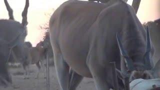 Bowhunting eland