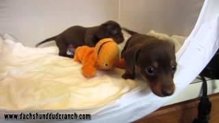 Hannah And Hodor - Mini Dachshund Puppies - Dachshund Dude Ranch