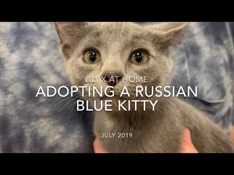 Adopting a blue cat