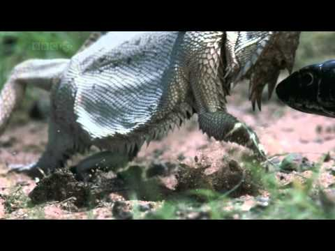 Thorny Devil (Moloch horridus)