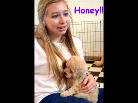 Choosing our Goldendoodle Puppy