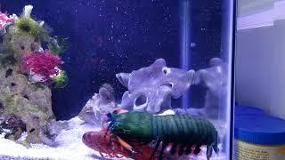 Mantis Shrimp having Crawfish for lunch!