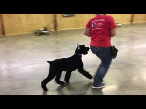"Giant Schnauzer ""Yates"" 8 Mo's Obedience Protection Training Dog For Sale"